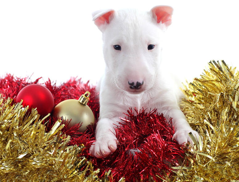 Pretty bull terrier pet on a christmas ornaments